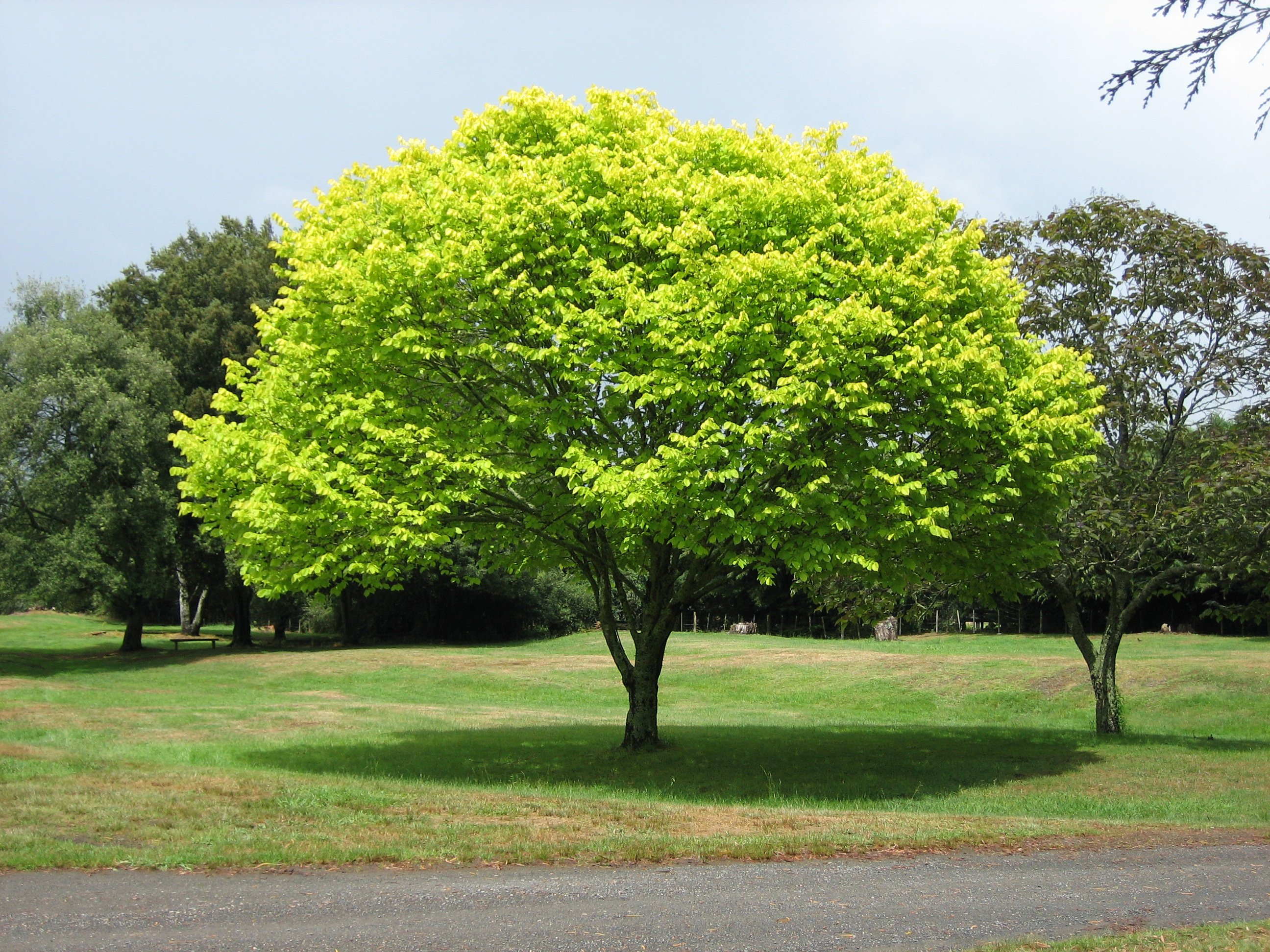 Healthy maple tree in Capron Park, Attleboro MA